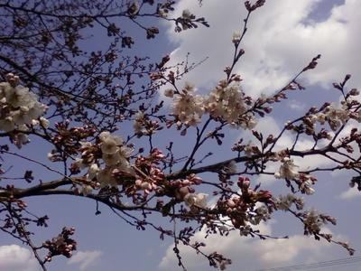 Sakura110331