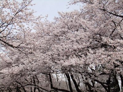 Sakura11040702