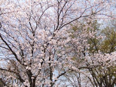 Sakura11041001