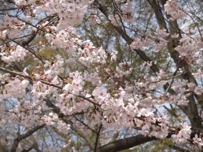 Sakura11041002