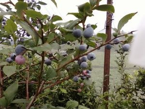 Blueberry11072701