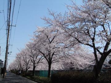 Sakura12040801