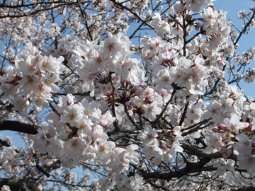 Sakura12040803