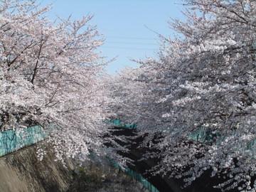 Sakura12040804
