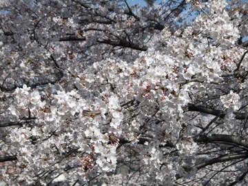 Sakura12040805