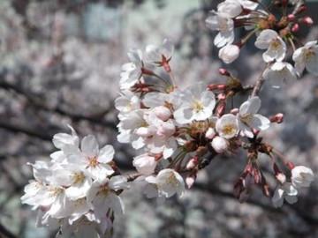 Sakura12040806