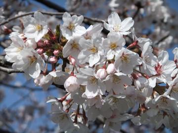Sakura12040807