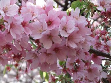 Sakura12041004