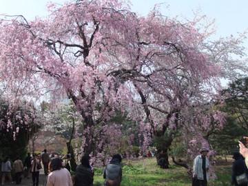 Sakura12041006