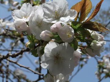 Sakura12041007