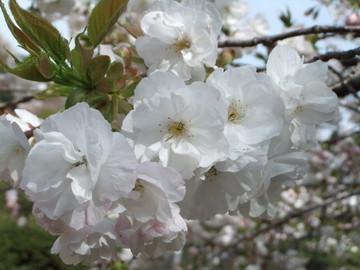 Sakura12041008