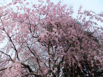 Sakura12041009