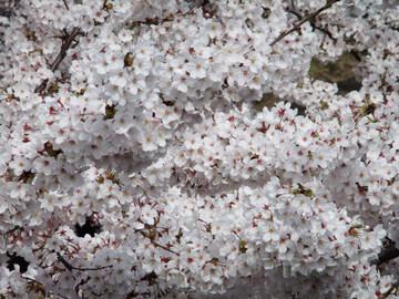 Sakura12041010
