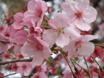 Sakura12041011