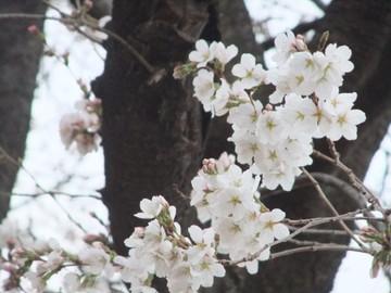 Sakura13032002