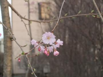 Sakura13032003