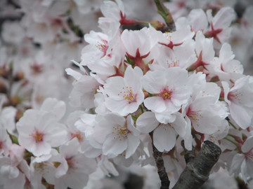 Sakura13033001