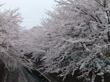 Sakura13033002