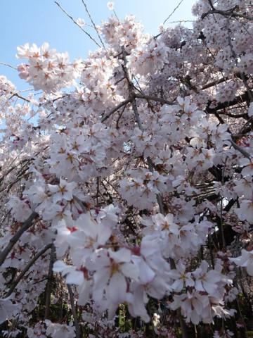 Sakura140328