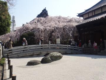 Sakura14032801