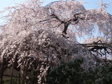 Sakura14032802