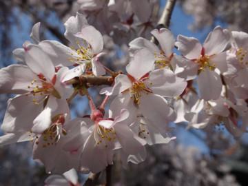 Sakura14032803