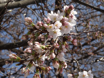 Sakura14032811