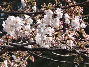 Sakura140329