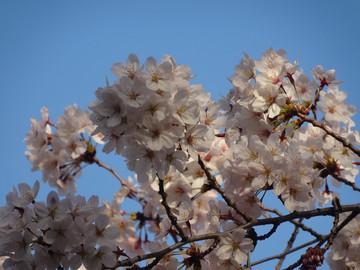 Sakura15033003